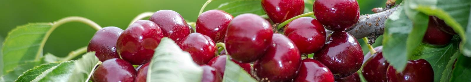 cherries-header