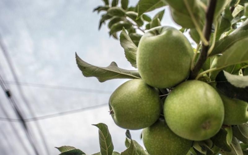 frutas de pepita